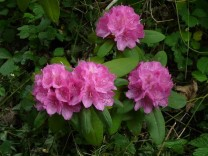 rhododendron_sp_14
